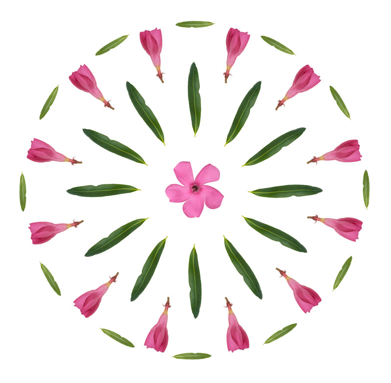 Pink Oleander design, Tara Gill, Patterns of Growth, Botanical Photography & Design