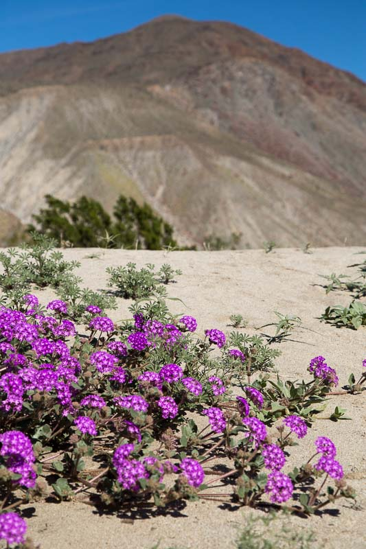 Anza Borrego Verbena and Hill, Tara Gill Photo