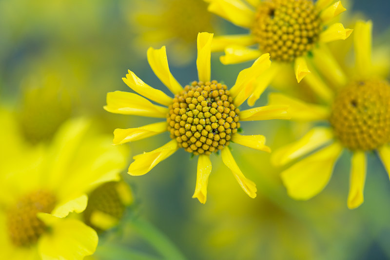 Anza Borrego Encelia Flowers, Tara Gill Photo