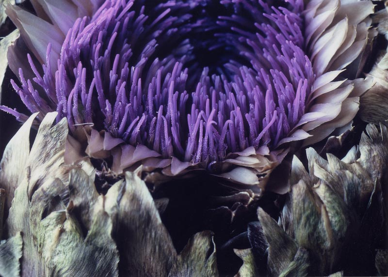 Artichoke in Bloom, Tara Gill Photo