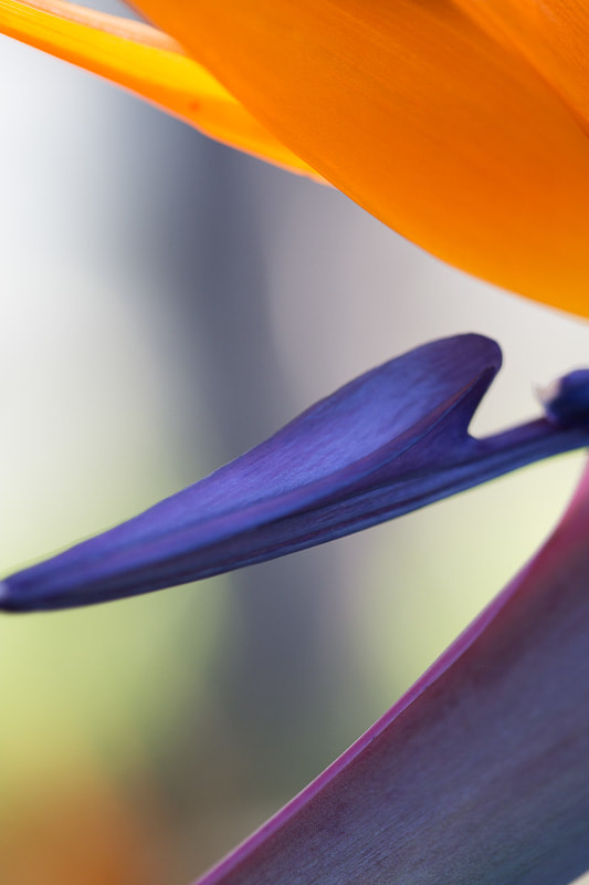 Bird of Paradise 5, Tara Gill Photo