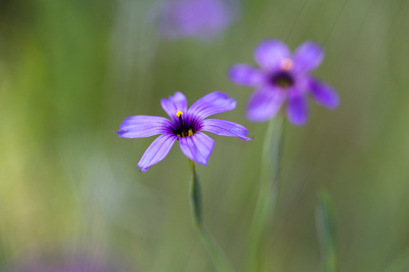 Blue eyed grass flowers, Mt. Tamalpais, Tara Gill