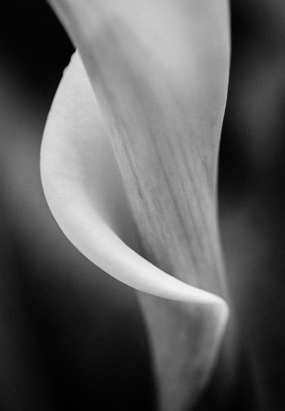 Calla Curve Black & White, Tara Gill Photo