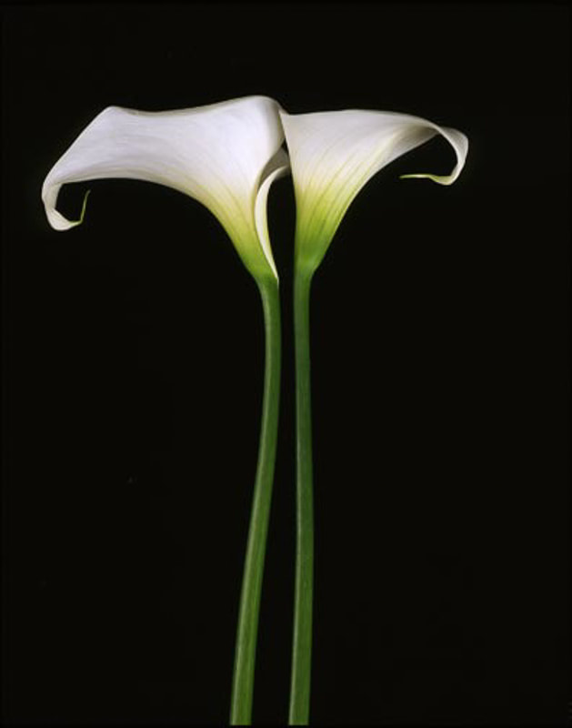Two Calla Lillies on Black, Tara Gill Photo