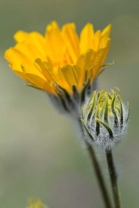 Desert Sunflower 2, Anza Borrego, Tara Gill Photo