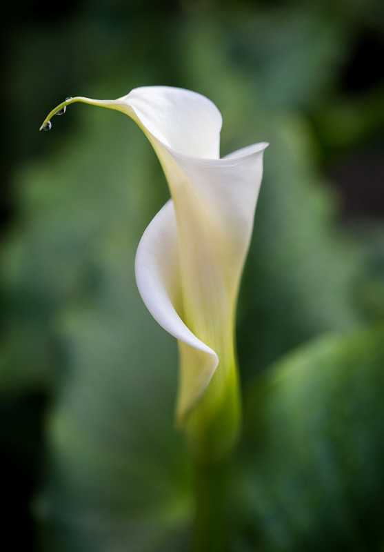 Calla Lily from the Garden, Tara Gill Photo