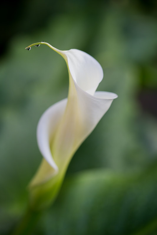 Sideways calla, Tara Gill Photo